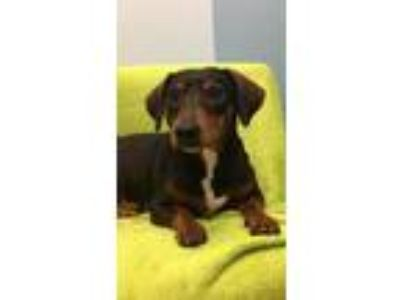 Adopt Norah a Black - with Tan, Yellow or Fawn Dachshund / Mixed dog in Weston
