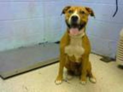 Adopt RENNY a Pit Bull Terrier