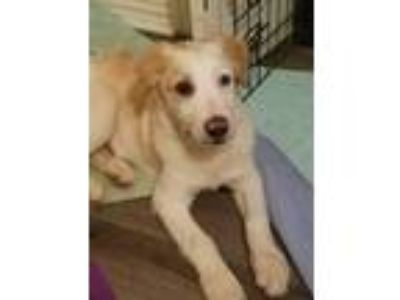 Adopt Brody a White - with Tan, Yellow or Fawn Great Pyrenees / Collie dog in