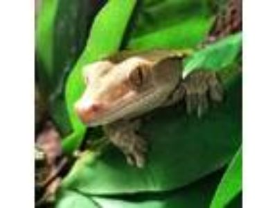 Adopt Yoshi a Gecko reptile, amphibian, and/or fish in Brea, CA (25852183)