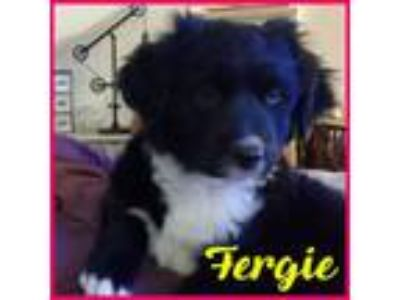 Adopt Fergie a Border Collie, German Shepherd Dog