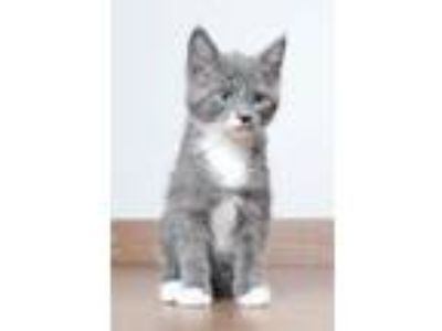 Adopt Eggs Benedict C190145 a Domestic Medium Hair