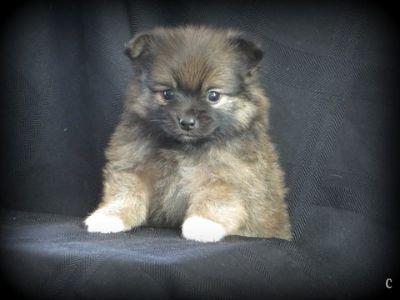 Pomeranian PUPPY FOR SALE ADN-52069 - Darling Pomeranian Puppies  5 wks old