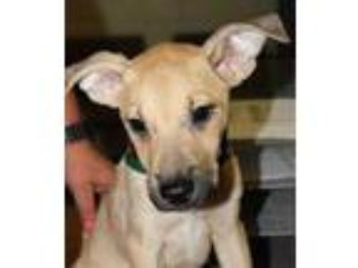 Adopt Toby a Tan/Yellow/Fawn Retriever (Unknown Type) / Mixed dog in