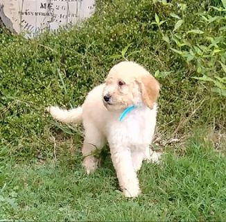 Poodle (Standard) PUPPY FOR SALE ADN-83046 - beautiful standard poodle puppies