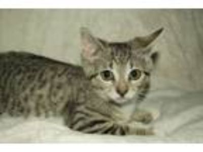 Adopt Icing (Foster Care) a Domestic Short Hair, Tabby