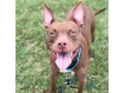 Adopt Kash a Tan/Yellow/Fawn American Pit Bull Terrier / Mixed dog in Dallas