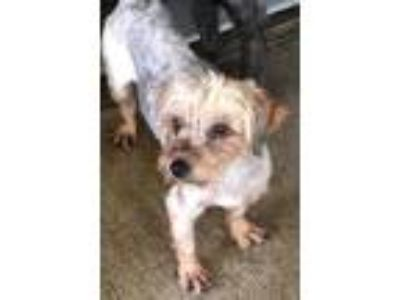 Adopt Isaac a Yorkshire Terrier