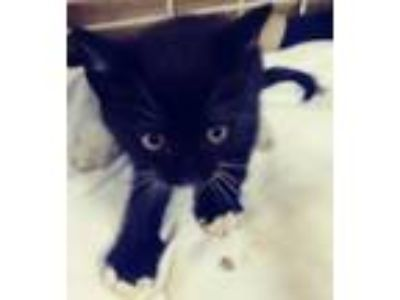 Adopt Boots a All Black American Shorthair / Mixed (short coat) cat in oakland