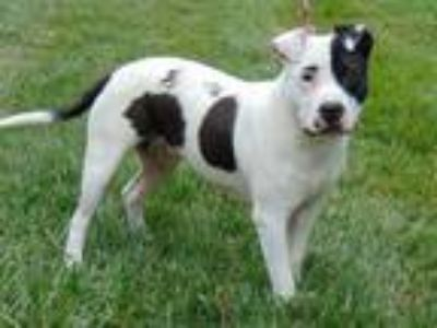 Adopt BROOKE a White - with Black American Pit Bull Terrier / Mixed dog in