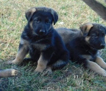 German Shepherd Dog PUPPY FOR SALE ADN-102793 - AKC German Shepherd Puppies