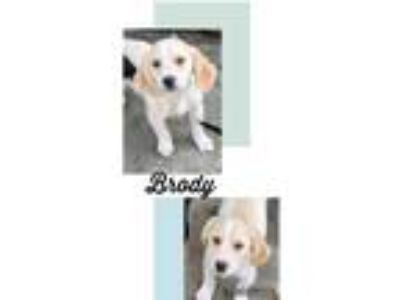Adopt Brody a Tan/Yellow/Fawn - with White Cocker Spaniel / Bloodhound / Mixed