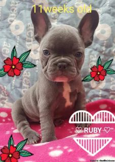 AKC registered blue Frenchie Available