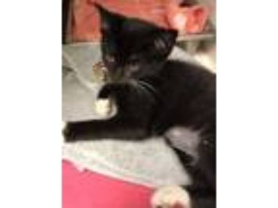 Adopt Carly a Domestic Short Hair