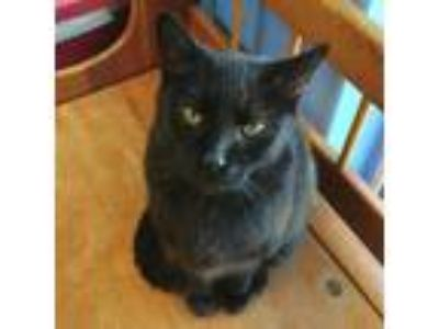 Adopt Cabernet a Domestic Short Hair