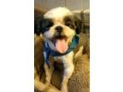 Adopt Scooter a White - with Gray or Silver Shih Tzu / Mixed dog in Prince