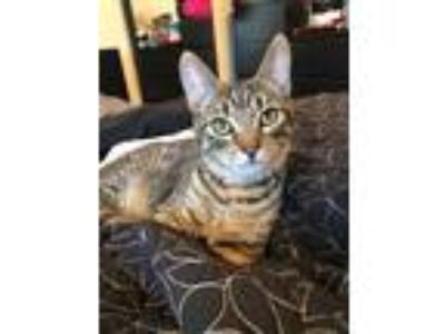 Adopt Seven a Brown Tabby Domestic Shorthair (short coat) cat in Anaheim Hills