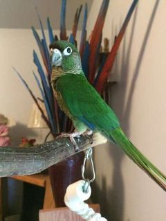 Greencheek Conures