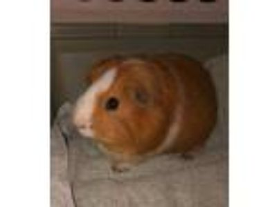 Adopt Eddie a Brown or Chocolate Guinea Pig / Guinea Pig / Mixed small animal in