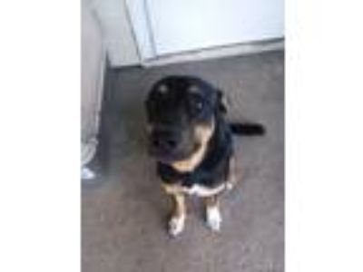 Adopt Bruce a Tricolor (Tan/Brown & Black & White) German Shepherd Dog / Mixed