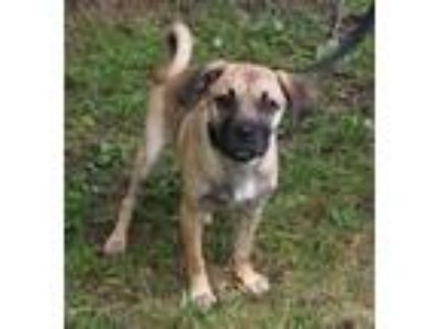 Adopt Kiwi a Tan/Yellow/Fawn Pug / Mixed dog in Voorhees, NJ (25545543)