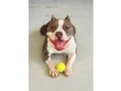 Adopt Bane a Pit Bull Terrier