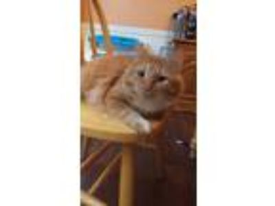 Adopt Jake a Orange or Red Domestic Longhair / Mixed cat in Canton
