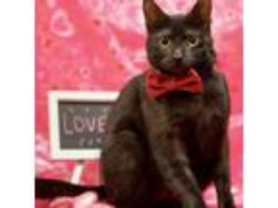 Adopt Logan (foster home) a Domestic Short Hair
