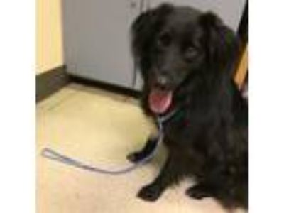 Adopt OAKLEY a Border Collie, Mixed Breed