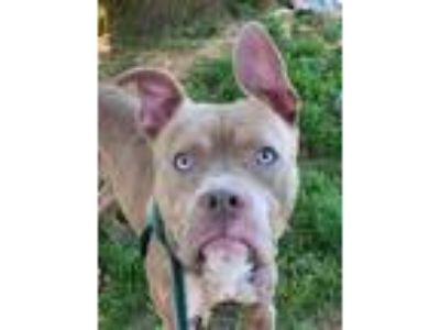 Adopt Harvey a Brown/Chocolate American Pit Bull Terrier / Mixed dog in