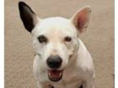Adopt CoraBelle a Bull Terrier, American Staffordshire Terrier