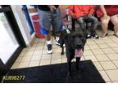 Adopt RIO a Black - with White Labrador Retriever / Mixed dog in West Palm