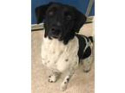 Adopt June a White Collie / Pointer / Mixed dog in Bryan, TX (20822431)