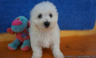 Trained Looking White Bichon Frise Puppies For Sale