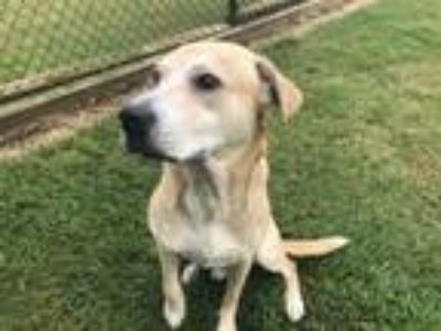 Adopt A085922 a Labrador Retriever, Mixed Breed