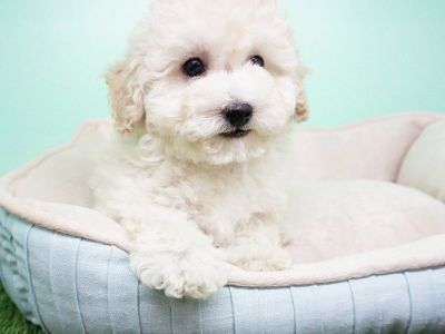 GoldendoodlePuppy- Female- Caroline ($1,399)