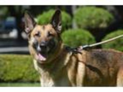 Adopt Yola a German Shepherd Dog / Mixed dog in Downey, CA (18446574)