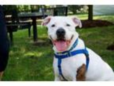 Adopt Barney a Staffordshire Bull Terrier