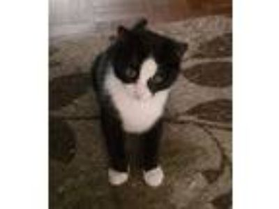 Adopt Panda a Black & White or Tuxedo American Shorthair (short coat) cat in