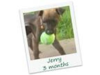 Adopt Jerry a Black - with Tan, Yellow or Fawn Labrador Retriever / Mixed dog in