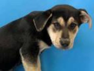 Adopt Huckleberry a Black Labrador Retriever / Mixed dog in St.