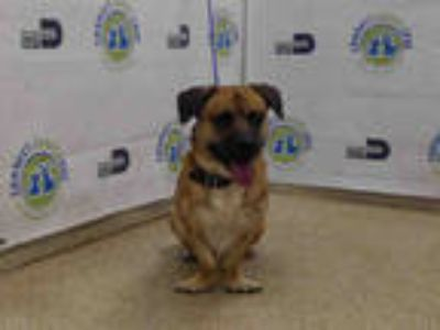 Adopt DOOGIE a Brown/Chocolate - with Black Dachshund / Mixed dog in Doral
