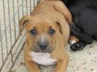 Adopt Rey a Brown/Chocolate American Pit Bull Terrier / Labrador Retriever /