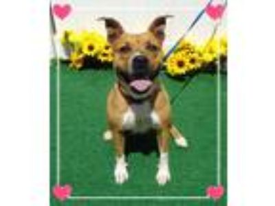 Adopt FRIEDA a Tan/Yellow/Fawn - with White Pit Bull Terrier / American