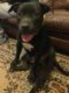 Grizzly Bear Pit Bull Terrier - Black Labrador Retriever Dog