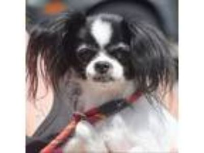 Adopt Cindy a Black - with White Papillon / Mixed dog in Huntley, IL (25563770)