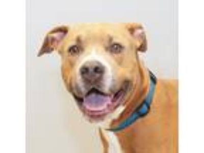 Adopt Russo a Tan/Yellow/Fawn Mixed Breed (Large) / Mixed dog in Lansing