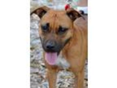 Adopt JAZZIE a Tan/Yellow/Fawn Black Mouth Cur / Boxer / Mixed dog in Palm City