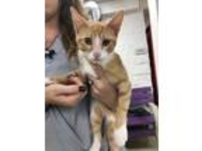 Adopt ADOPTED a Orange or Red American Shorthair / Domestic Shorthair / Mixed