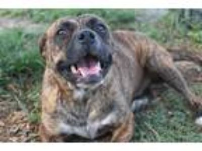 Adopt MABEL a Brindle - with White Boxer / Mixed dog in Panama City